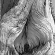 Pine, Split Trunk, Sierra Nevada Mountains, Ca Art Print