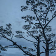Pine Tree Antigua Guatemala Art Print
