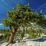Pine Tree In Yosemite Art Print