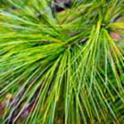 Pine Tree Needles Art Print
