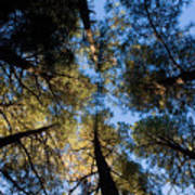 Pine Trees Near Ruidoso Nm Art Print