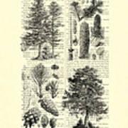 Pine Trees Study Black And White  Art Print