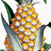 Pineapple, 1789 Art Print