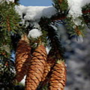 Pinecones Hanging From A Snow-covered Fir Tree Branch Art Print