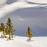 Pines In The Snow Drifts Art Print