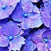 Pink And Blue Hydrangea 4 Art Print
