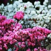 Pink And White Azelas Art Print