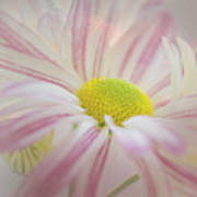 Pink And White  Art Print