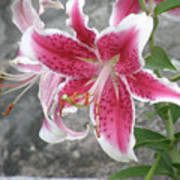 Pink And White Stargazer Lily In A Garden Art Print