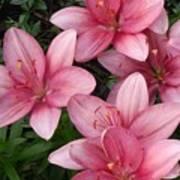 Pink Asiatic Lilies 2 Art Print
