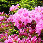 Pink Azalea Flowers Landscape 11 Art Prints Canvas Artwork Framed Art Cards Art Print