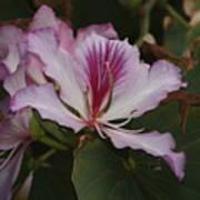 Pink Bauhinia Flower Art Print