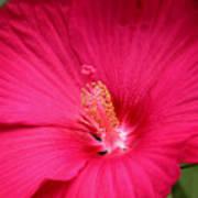 Pink Bloomers Art Print