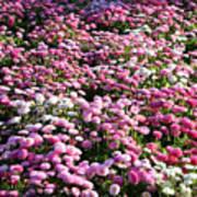 Pink Button Pom Flowers Art Print