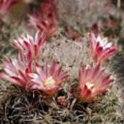 Pink Cactus Flowers 2 Art Print
