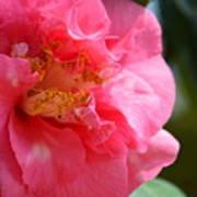 Pink Camelia Closeup Art Print
