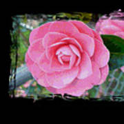 Pink Camellias With Fence And Framing Art Print