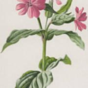Pink Campion Art Print