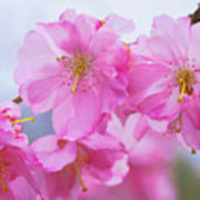 Pink Cherry Blossom Cluster Art Print