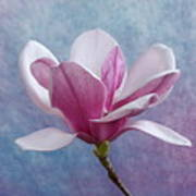 Pink Chinese Magnolia Flower Art Print