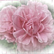 Pink Climbing Roses Art Print