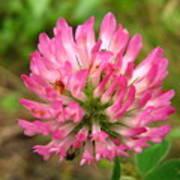 Pink Clover Flower Art Print