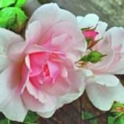 Pink Cluster Of Roses Art Print
