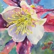 Pink Columbine Art Print