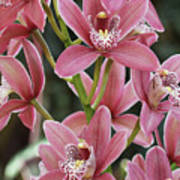 Pink Cymbidium Orchid #3 Art Print