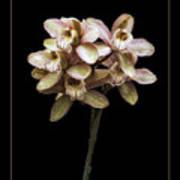 Pink Cymbidium Orchid Art Print