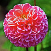 Pink Dahlia In Golden Gate Park In San Francisco, California  Art Print