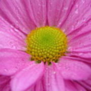 Pink Daisy With Raindrops Art Print