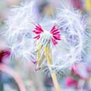 Pink Dandelion Art Print