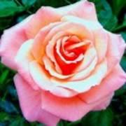 Pink Dawn Rose Art Print