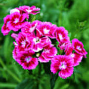 Pink Dianthus Art Print