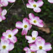 Pink Dogwood Mo Bot Garden Dsc01756 Art Print