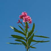 Pink Florida Oleander Blossom Art Print