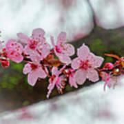 Pink Flowering Tree - Crabapple With Drops Art Print