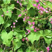 Pink Flowering Vine1 Art Print