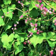 Pink Flowering Vine2 Art Print