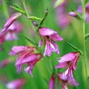 Pink Flowers Of Gladiolus Communis Art Print