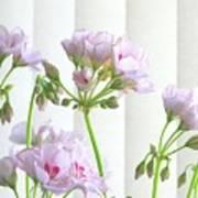 Pink Geranium Art Print
