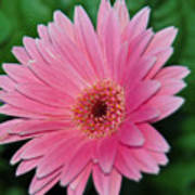 Pink Gerbera Delight Art Print