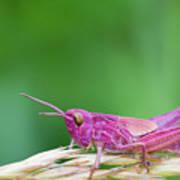 Pink Grasshopper Art Print