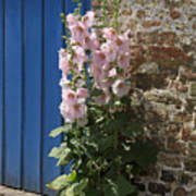 Pink Hollyhocks Growing From A Crack In The Pavement Art Print