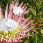 Pink King Protea Flowers Art Print