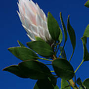 Pink King Protea Kula Maui Hawaii Art Print