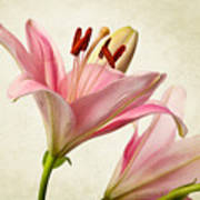 Pink Lilies Art Print