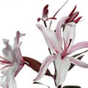 Pink Lily Art Print