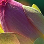 Pink Lotus Bud Art Print